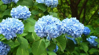 Як пофарбувати гортензію в блакитний