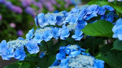 Як пофарбувати гортензію в синій