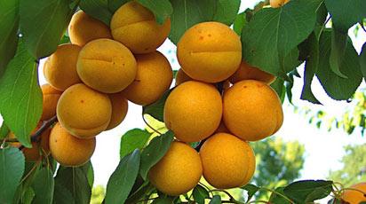 Коли плодоносить абрикос після посадки
