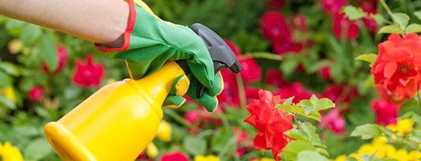 Борошниста роса на трояндах – лікування і профілактика