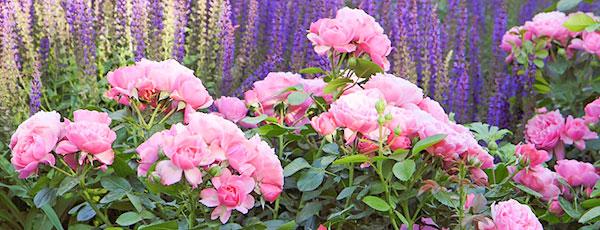 Чарівний дует: лаванда і троянди