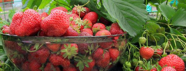 Чим підгодувати полуницю для великого врожаю
