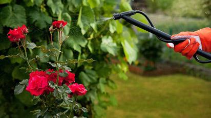 Чим підгодувати троянди навесні, щоб цвіли довго і пишно