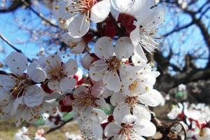 Абрикос  цвіте, але не плодоносить: причини