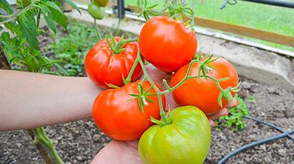 Що значить штамбові томати