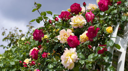 Як визначити сорт троянди «на око»?