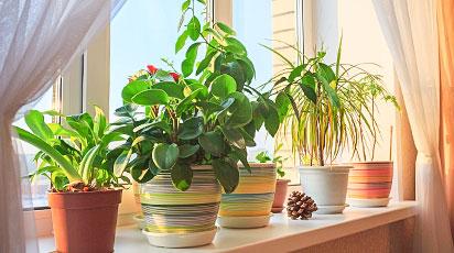 Як доглядати за кімнатними рослинами взимку