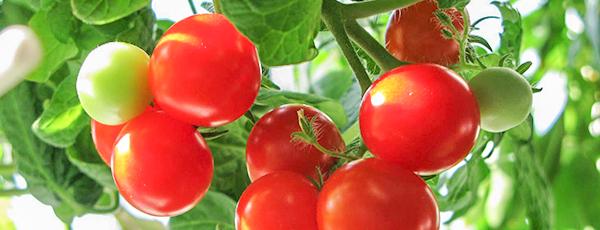 Як виростити томати на підвіконні