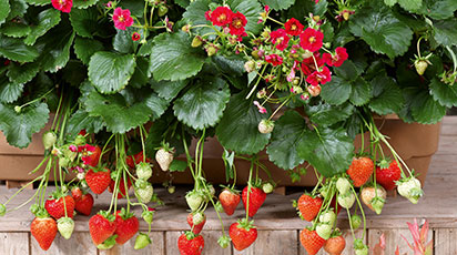 Як виростити смачну ремонтантну полуницю з насіння