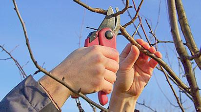 Обрізка яблуні навесні – просто про складне