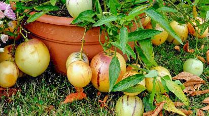 Пепіно: секрети вирощування динного дерева з насіння