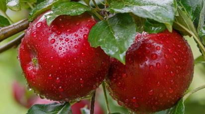 Посадка яблуні навесні – короткий практичний посібник