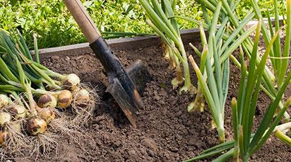 ТОП-7 ефективних порад хорошого врожаю цибулі