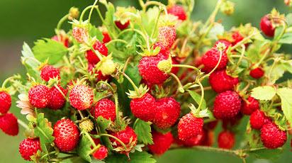 Врожайне підвіконня: як виростити полуницю в кімнаті і на балконі