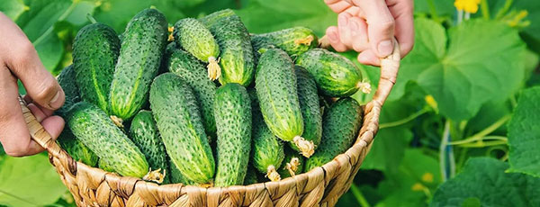 Догляд за огірками в липні: як домогтися плодоношення до самих морозів