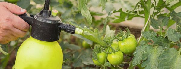 Догляд за томатами в червні: що потрібно робити в першу чергу