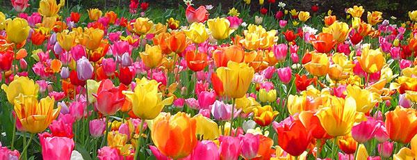 Групи тюльпанів: класифікація рослин за класами та термінами цвітіння