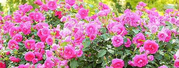 Календар догляду за трояндами по місяцях