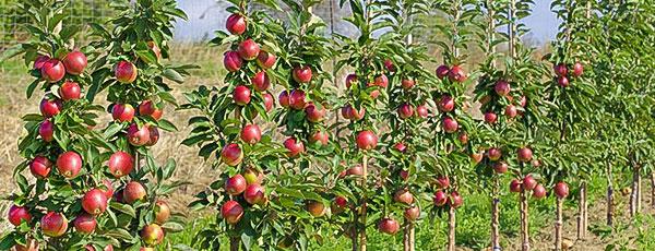 Колоновидні плодові дерева: посадка, догляд і найкращі сорти