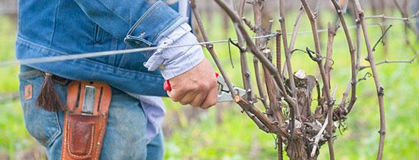 Обрізка винограду навесні - відповідаємо на головні питання