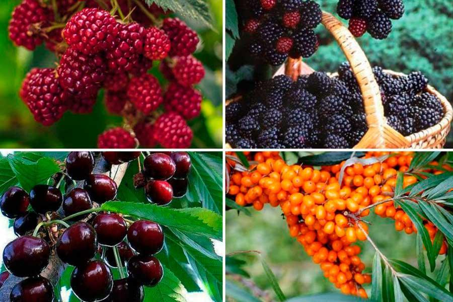 Осенняя подкормка ягодных кустарников: смородины, крыжовника, голубики