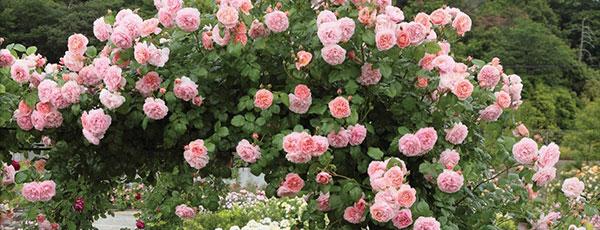 Плетисті троянди: посадка та догляд за королевами вертикального саду