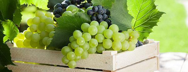 Посадка винограду восени – правила i терміни