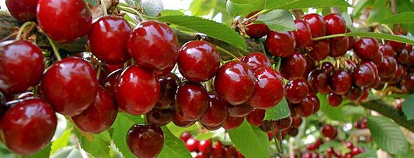 Посадка и обрезка вишни и черешни осенью