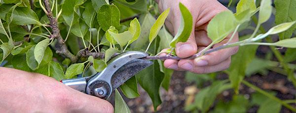 Правила обрезки груши для начинающих садоводов