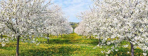Правильна підгодівля яблунь навесні