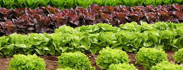 Що посіяти й посадити на городі в червні: перелік овочів
