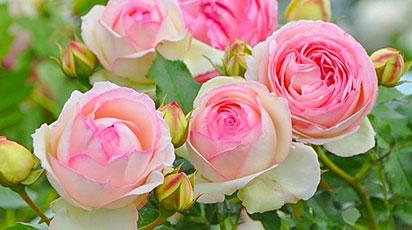 Що таке плетисті троянди і як за ними доглядати