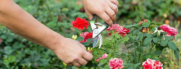 Секрети літнього догляду за трояндами, щоб пишно цвіли