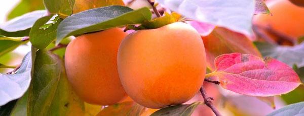 Смачна і врожайна хурма: сорти, вирощування та догляд