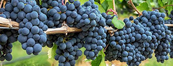 Виноград для початківців: посадка, обрізка, догляд