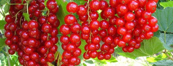 Як отримати небачений врожай смородини