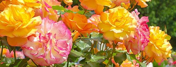 Як правильно посадити троянди в саду: ділимося порадами і секретами