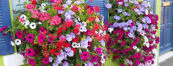 Які квіти цвітуть усе літо — ТОП-10 від магазину «Дім і сад»