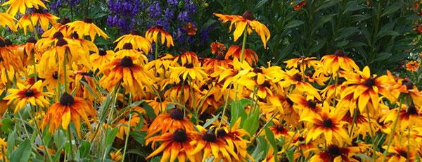Які квіти посадити та посіяти в серпні