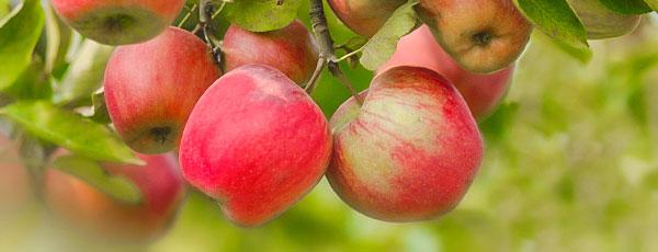Яку яблуню посадити на дачі, щоб не помилитися з сортом