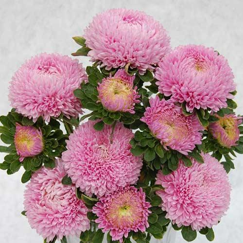 Астра Сиринга светло-розовая Садыба центр рисунок 1 артикул 89057