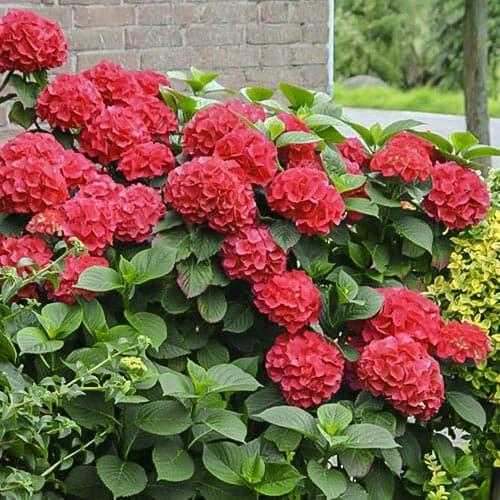 Гортензія крупнолиста Ред Місс Хепберн зображення 1 артикул 9032