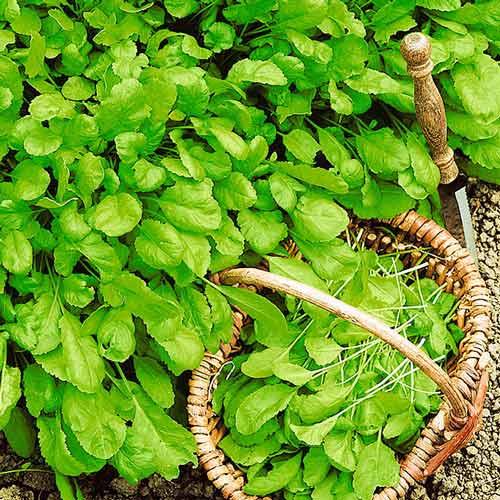 Крес-салат Широколистий Seedera зображення 1 артикул 66475