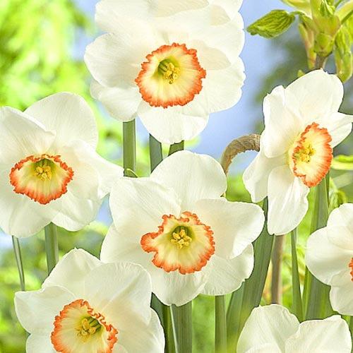 Нарцис великокорончастий Барбі Долл зображення 1 артикул 67639