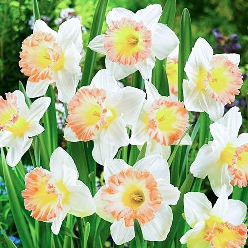 Нарцис великоквітковий Брітіш Гембл зображення 1 артикул 67642