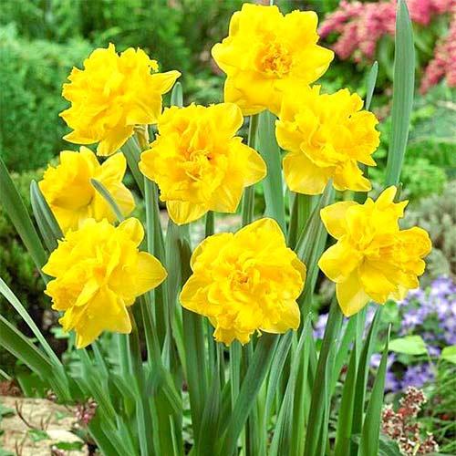 Нарцисс махровый Дабл Голд Медал рисунок 1 артикул 67646