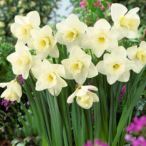 Нарцисс крупноцветковый Орегон Сноу рисунок 1 артикул 68068