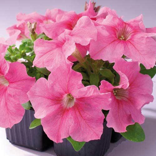 Петуния Танго розовая F1 Садыба центр рисунок 1 артикул 89613