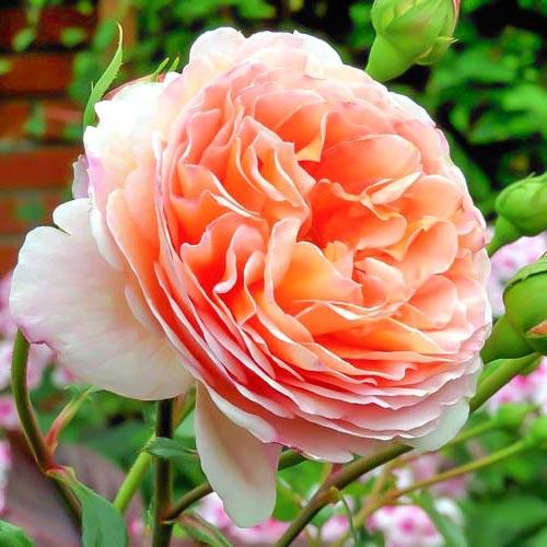 Троянда англійська Абрахам Дербі зображення 1 артикул 2207
