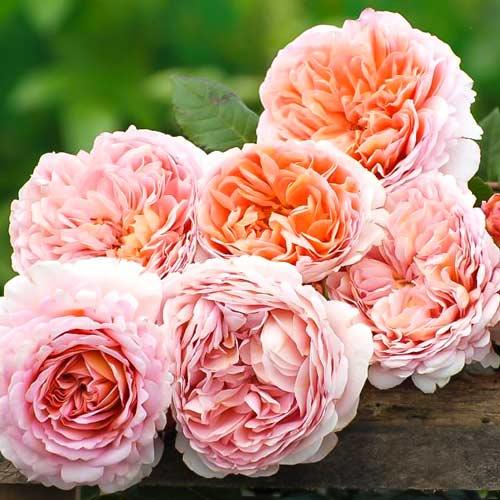 Троянда англійська Абрахам Дербі зображення 2 артикул 2207